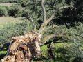 Παρελθόν απο χθες το Δέντρο του Αι Νικόλα στη Βλαχέρνα (photos)