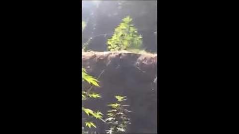 Εντοπισμός φυτείας 263 δενδρυλλίων κάνναβης στη Μεσσηνία